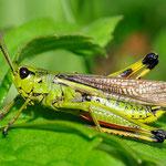 Stethophyma grossum, Sumpschrecke, Männchen