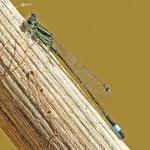 Ischnura genei, Insel-Pechlibelle, Männchen, Malta-Gozo