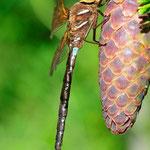 Aeshna grandis, Braune Mosaikjungfer, Männchen, Schweden