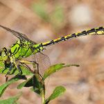 Ophiogomphus cecilia, Grüne Keiljungfer, Männchen