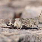 Oedipoda germanica, Rotflügelige Ödlandschrecke, Weibchen