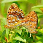 Argynnis adippe - Feuriger Perlmuttfalter, Kopulation