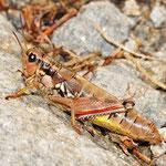 Podisma pedestris, Gewöhnliche Gebirgsschrecke, Weibchen, Österreich