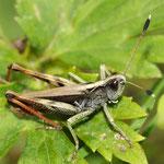 Gomphocerippus rufus, Rote Keulenschrecke, Männchen