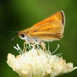 Thymelicus acteon, Mattscheckiger Braun-Dickkopffalter