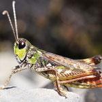 Myrmeleotettix maculatus, Gefleckte Keulenschrecke, Männchen