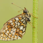 Brenthis hecate - Saumfleck-Perlmuttfalter, Rumänien