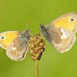 Coenonympha pamphilus - Kleines Wiesenvögelchen