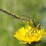 Ophiogomphus cecilia, Grüne Keiljungfer, Weibchen