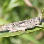Locusta migratoria cinerascens, Wanderheuschrecke, Männchen, Italien