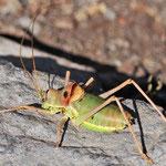 Ephippiger diurnus, Westliche Sattelschrecke, Männchen, Ungarn