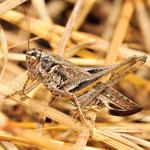 Platycleis albopunctata, Westliche Beißschrecke, Weibchen