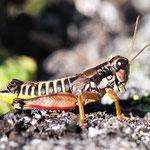 Podisma pedestris, Gewöhnliche Gebirgsschrecke, Männchen, Österreich