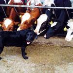 Ein Familienbetrieb mit Liebe zur Holsteinzucht
