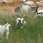 Geiten en schapen in 't Limburgse land.