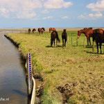 Paarden in 't buitendijks gebied van Friesland.