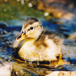 Little ducky