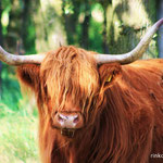Schotse hooglander op de Delleboersterheide.