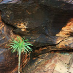 Jong boompje in de bergen op Gran Canaria