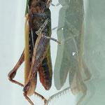 Stenobothruslineatus
