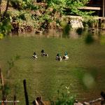...im Teich daneben einige Enten...