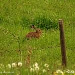 """....noch ein Hase auf der """"Hausbauernwiese""""....."""