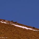 ...auch noch einige Schneereste und Gämsen, oben am Grat....