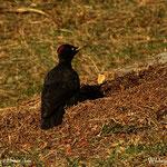 .....welch Überraschung, ein Schwarzspecht, der bearbeitet einen Ameisenhaufen, ein schönes Erlebnis an diesem Sonntag.....