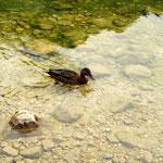 Der Ente passt die Temperatur