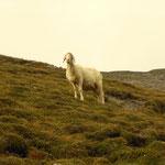 Almbewohner, Schafe am Berg