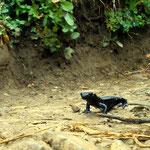 Salamander am Weg