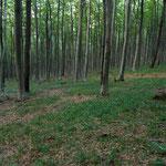 wieder tolle Buchenwälder, am Weg nach Köszeg