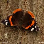 ...am Baum ein schöner Schmetterling, ein Admiral, schön.......