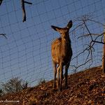 ....diese Hirschkuh betrachtet einen tollen Wanderer, in diesen frühen Morgenstunden, yeah.....
