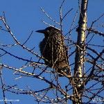 ...auch ein schöner Vogel, der Tannenhäher.