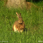 .....am Waldrand hat dieser Hase sich gesonnt.....