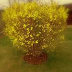 ....der Frühling ist angekommen, die Forsythien sind in voller Blüte.