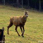 .....der Platzhirsch hat seine Stangen abgeworfen, Zeit sich zu erneuern, auch der Hirsch braucht einen neuen Kopfschmuck.....