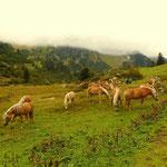 ...und schönen Haflingerpferden....