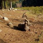 die Steinböcke geniesen die Frühlingssonne