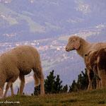 ...Schafe haben ein Paradies hier oben....