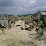 4 Kastrationen im Tierheim Campulung, Rumänien