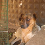 Hündin Judy, Tierhilfe Antalya eV