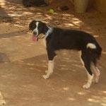 Hündin Shelly, Tierhilfe Antalya eV