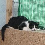 Katze Chantal, APADAC, Callosa de Segura, Spanien