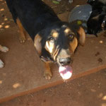 Hündin Shari, Tierhilfe Antalya eV