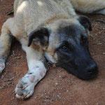 Hündin Finja, Tierhilfe Antalya eV