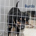 Rüde Burdo, Streuner Spanien eV