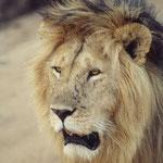 Dieser Löwe marschierte in der Serengeti unmittelbar neben unserem Fahrzeug vorbei . Ich hätte mit der Hand durch seine Mähnen fahren können...Mehr Bilder in den Galerien Tansania I und II.