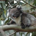 Koala, Hanson Bay Sanctuary, Kangaroo Island (Sehen Sie dazu die Galerien Australien I - III)